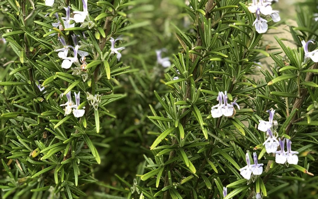 Rosemary – the natural memory booster